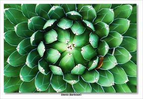 Agave Victoria Regina by ScoobyUSA