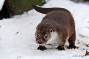 playful otter by albuemil