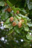DSC 0015 Beech Nuts by wintersmagicstock