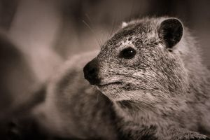 Rock Hyrax by noelholland