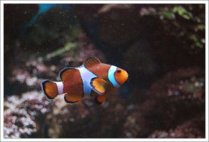 Clownfish by Rellim