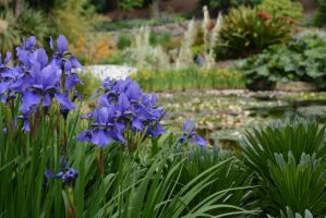 Irises and the Lily Pond by MayEbony