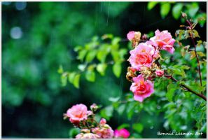 Pink Roses In The Rain by Bonniemarie