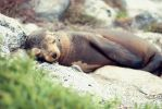 Peaceful Baby Sea Lion by solefield