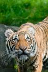 Tiger - 6572 by eight-eight