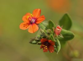 the scarlet pimpernel... by clochartist-photo
