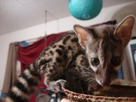 Large Spotted Genet by CatBonesTaxidermy
