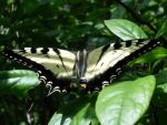 Yellow Swallow Tail by forestchild666