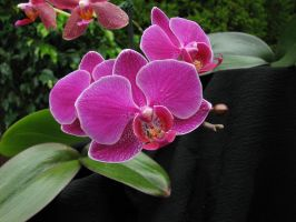 Orchid 2558 by CitizenOlek