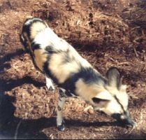 African Wild Dog 3 by roamingtigress