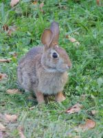 Whitetail Rabbit I by chickadee-studio