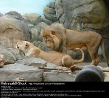 Lion and Lioness Stock 3 by Melyssah6-Stock