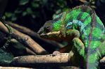 Cameleon by bill470