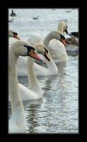 Swans by mefista