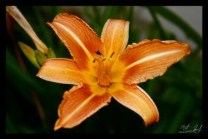 Day Lily by DRebels