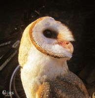 Morning Owl by bagoestm