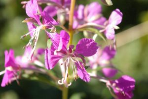 Willow herb by jenniekatarina