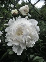 Peony '01 by gr-unique