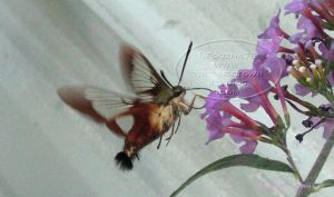 Hummingbird Moth - 2009 v.3 by Foozma73