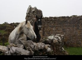 Connemara ponies5 by faestock