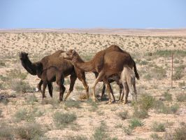Camels by TheLadyAmalthea