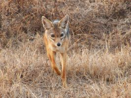 Silver-backed Jackal by SplashKittyPhotos