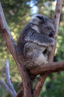 Koala - Melbourne by MassimoCatarinella