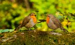 A Pair of Red Robins by PictureByPali