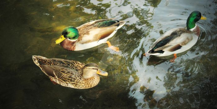 Mallards and Trout by aarongcampbell