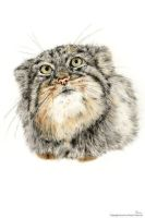 Manul by TobiasWeinald