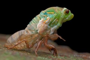 Moulting Cicada by melvynyeo