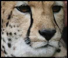 Sheeba's Closeup by TVD-Photography