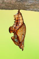 Common Sergeant Pupae by inckurei
