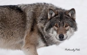 The Grey Wolf Canis Lupus by PictureByPali