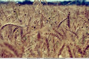 Golden Wheat Of Palestine by PalestineToOwner