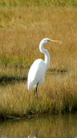 Great Egret by SlateGray