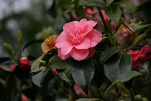 view to pink camellia by ingeline-art