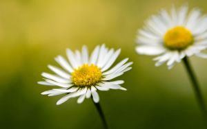 Daisy WP by jsz