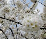 Cherry Blossoms 6 by zaphotonista