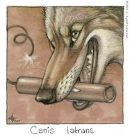 Canis latrans by kyoht