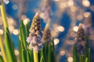 Muscari Botryoides by Lullsstar