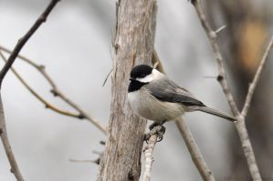 Carolina Chickadee 1637 by robbobert