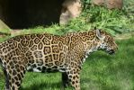 jaguar in Zoo 6 by ingeline-art