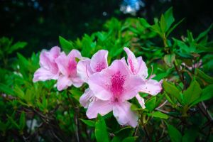 Higashi Village Azalea Festival - Flowers 3 by Natures-Studio