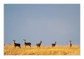 Deer on the Horizon by Julian-Bunker