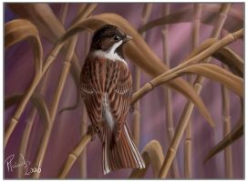 Reed bunting by Emberiza
