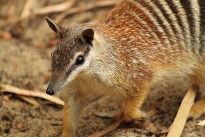 Nimble Numbat by Photospectre