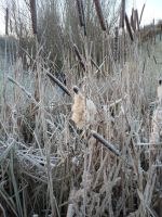 Winter Reeds Print by Cat-in-the-Stock