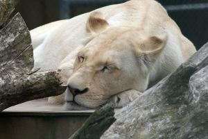 White Lioness by carterr