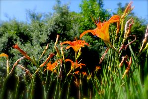 Day lilies 5 by SoOblivious